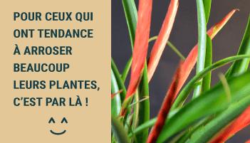 Tillandsias pour ceux qui arrosent beaucoup leurs plantes