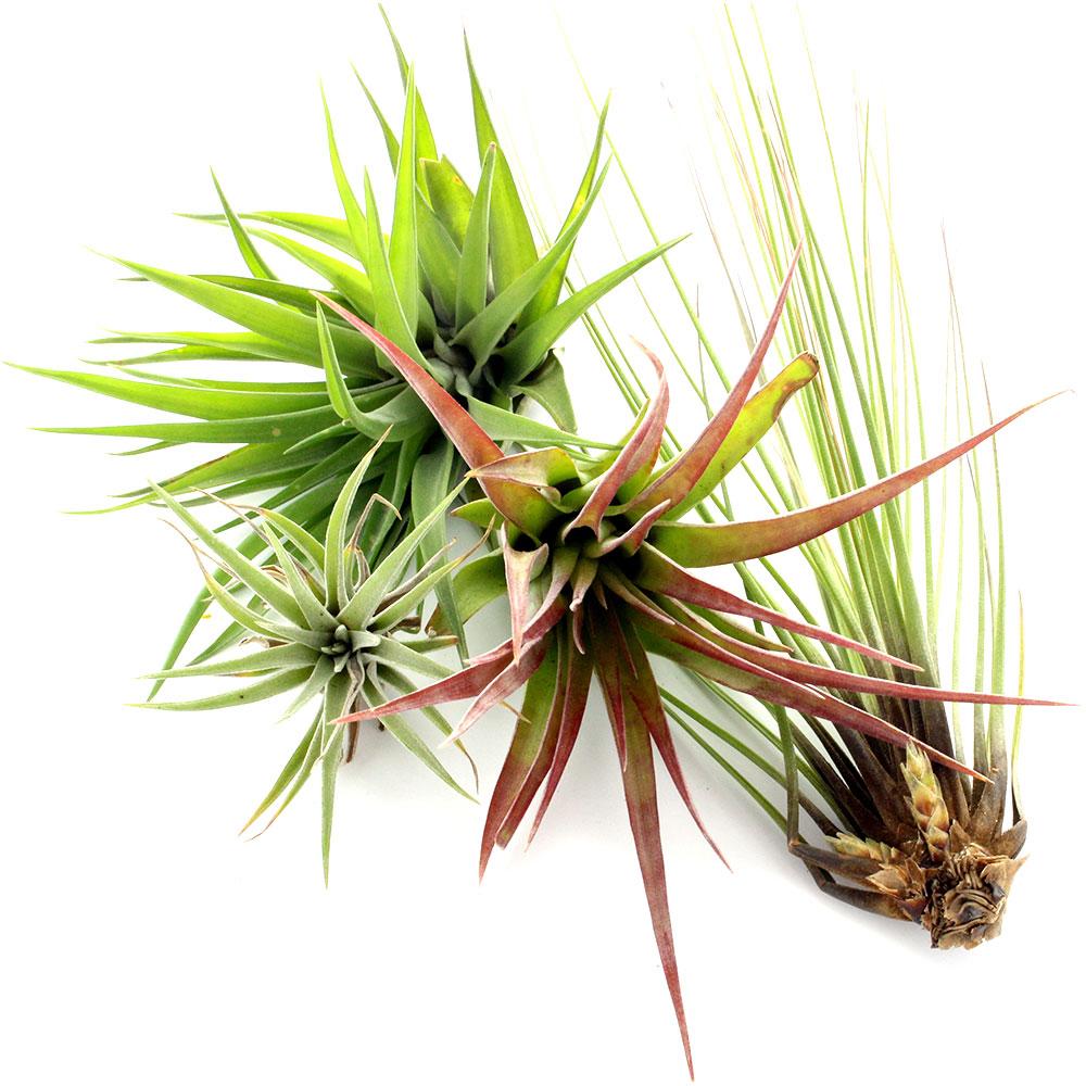 Les Tillandsias ou filles de l'air, plantes qui vivent sans racine et sans terre